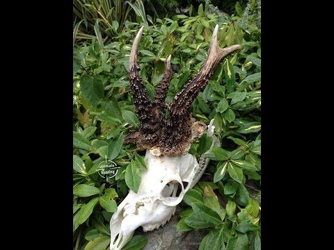 Roe buck Hunting Poland; bukkejagt i Polen, www.ultimatehunting.eu