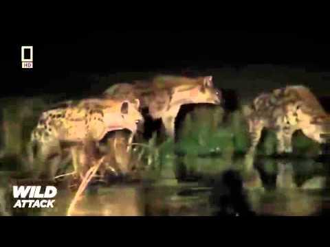Lion Mating & Hunting Documentary 20142 shqiptar luan tu qi grekun