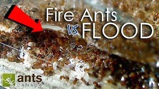Fire Ants vs. Flood   What Happens to Ants When It Rains?