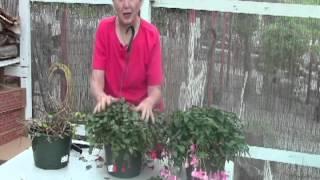 Edited - Part 2 - Cutting back Fuchsias