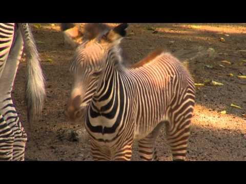 Lion Zebra Baby Baby Zebra Born at Cincinnati