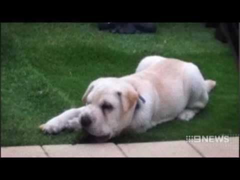 Stolen Pup | 9 News Perth