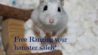 How to Free-range your hamster safely | HamsterHorsesandCats