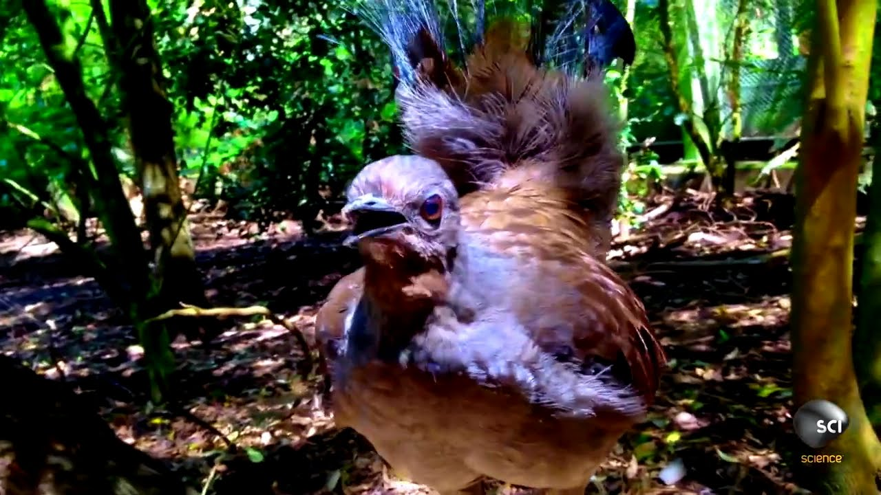 What Makes the Lyrebird Nature's Best Mimic?