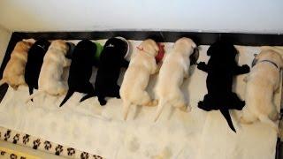Karmienie labradorów ( feeding labradors )