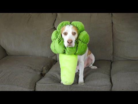 ブロッコリーのコスチュームを着た犬が吊るされたブロッコリーに憂鬱に食らいつくw