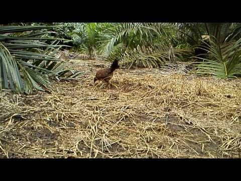 Ayam Hutan Pikat Betina Spesel