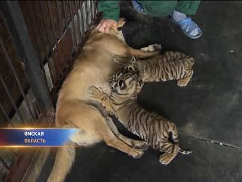 Собака выкормила тигрят