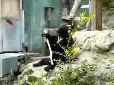 安佐動物園 熊のクラウド君の得意技 2