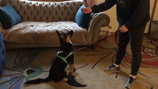 LnF Dog Rescue newest GSD Puppy Ingrid