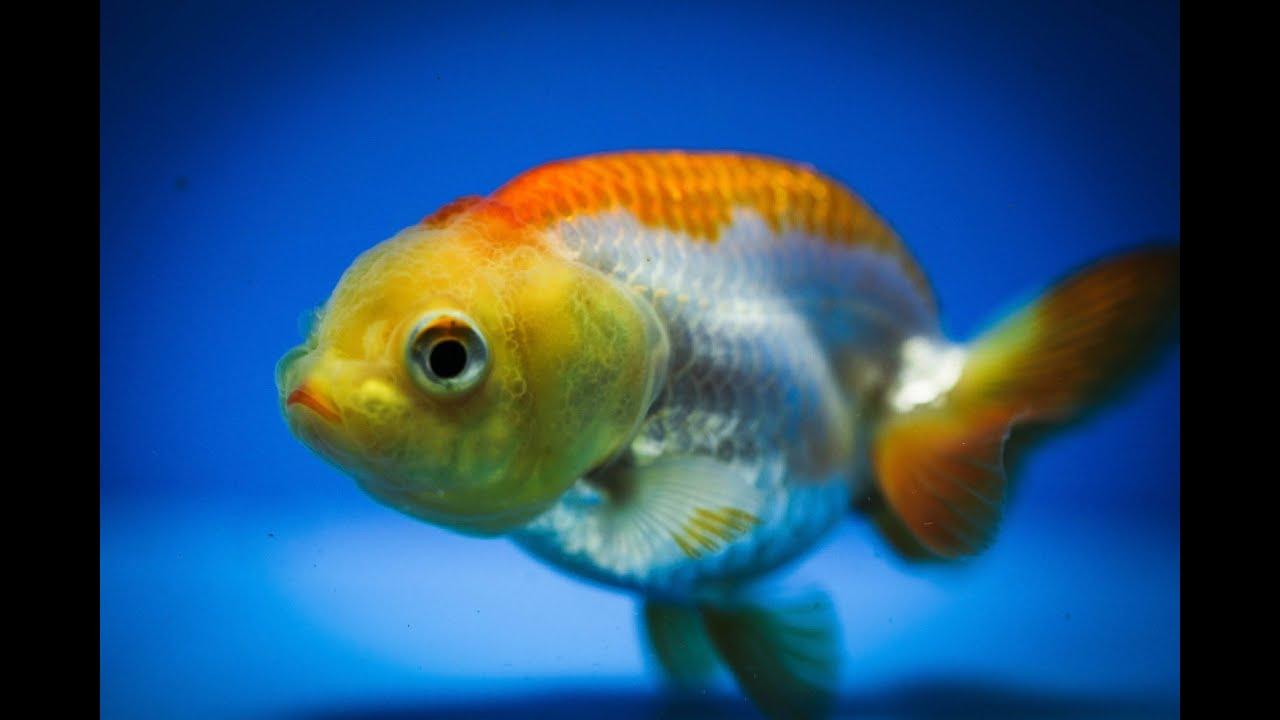 Ranchu : Viewing Gallery For - Ranchu Goldfish