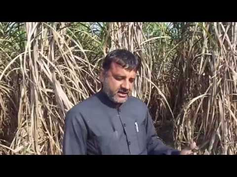 Sugarcane,Farmer getting more benefit by using Indian Technology-Kamaal