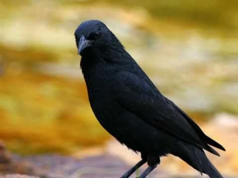Aves do Brasil - Ouça o canto do Pássaro-Preto ou Graúna.