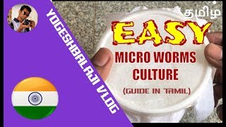 How to Culture Microworms in Tamil || microworms for Baby Betta Fish | Yogesh Balaji Vlog