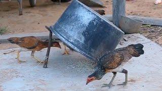 The Best Birds Trap in Cambodia - Amazing Quick Chicken Trap in My Village