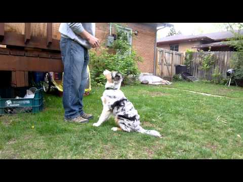 Pickles Australian Shepherd Puppy Tricks at 5 months old