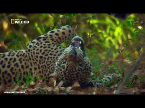 Loài Báo Đốm Châu Mỹ
