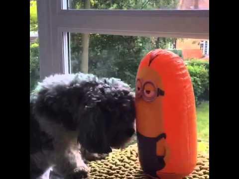 Dura pelea entre un perro y un minion