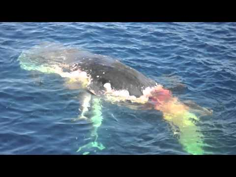 Sharks eating whale in HD