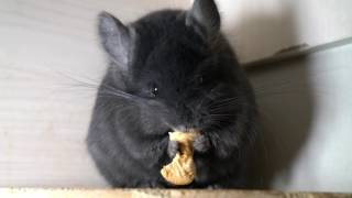 Chinchilla Angora Royal Persian extra Dark ebony
