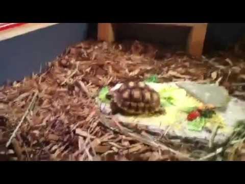 Sulcata Tortoise Care Video Baby Sulcata Tortoise Care
