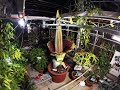 Timelapse: Capturing a Corpse Flower