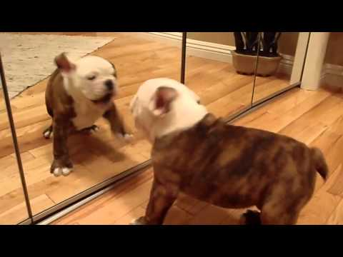 English bulldog.MP4