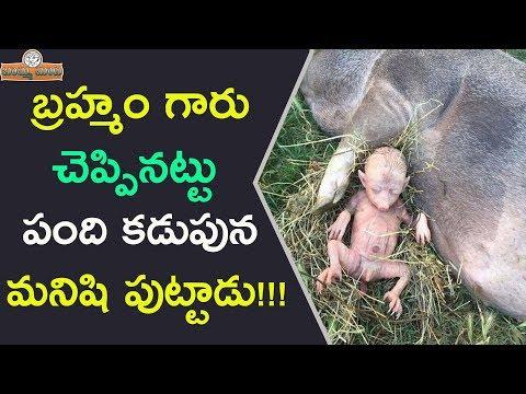బ్రహ్మంగారి కాలజ్ఞానం నిజమైంది! పంది కడుపున మనిషి పుట్టాడు! || Man Born From Pig!