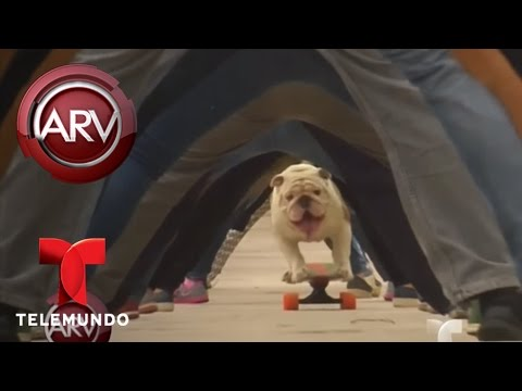 VIDEO: UN PERRO BULLDOG DE PERÚ ROMPE RÉCORD EN UNA PATINETA