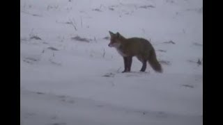 FOX HUNTING compilation #1