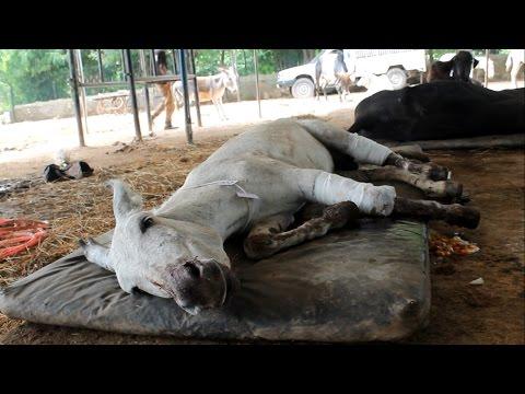 虐待されて放置されたロバを救助する素敵な映像