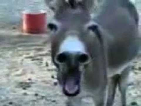 Donkey Laughing ! video