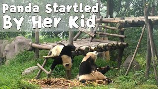 Panda Mom Startled By Her Naughty Kid | iPanda