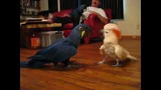 Cockatoo vs. Hyacinth Macaw