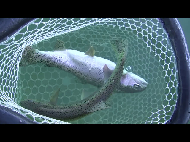Eagle Lake Fly Fishing in California with Sierra Drifters Guide Service