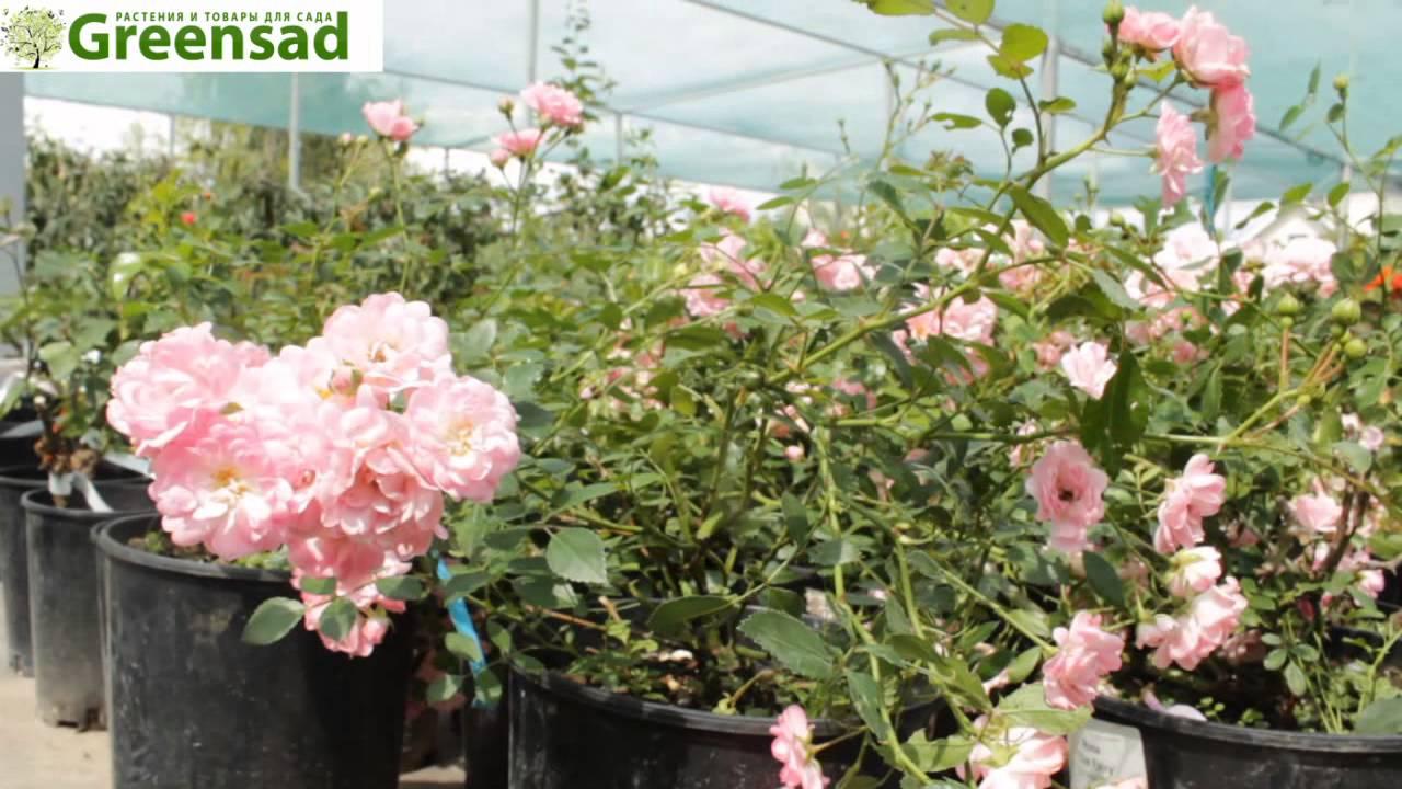 фото штамбовая роза