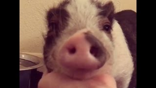 Sick Pig Rescued From Breeder Is Happy Now | The Dodo
