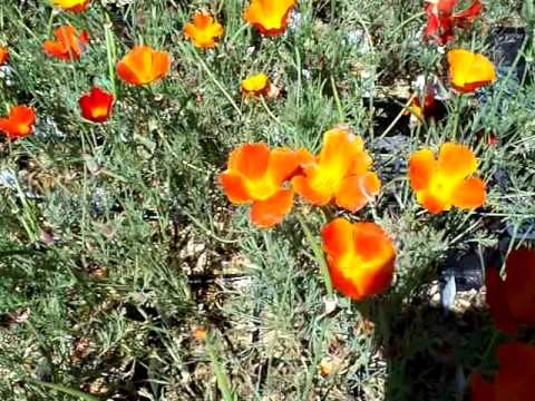 Natural Pest control California Poppy mov