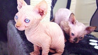 Two Women Buy 'Sphynx' Kittens In A Parking Lot And Realize They've Been Totally Scammed