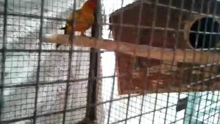 conures in preethi farms