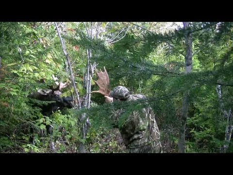 Dangerous moose call !!! (attack) ( i fight with the moose )...