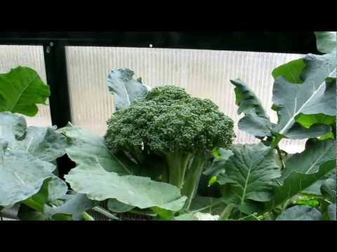 Aquaponics Green house  January 2013 update