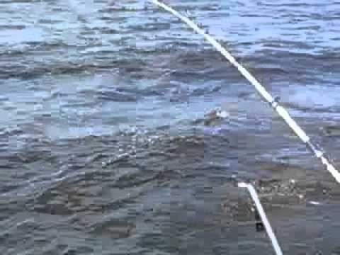 Downrigger fishing walleyes