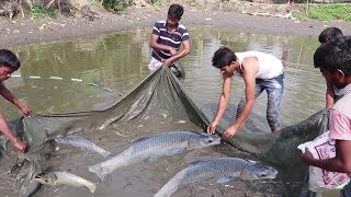 Big Carp  Fish catching in mud water pond using a fishing net and catch fish by hand