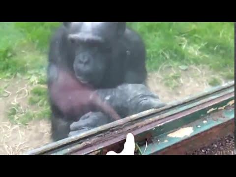 Chimpancé pide ayuda a humanos para escapar del zoológico