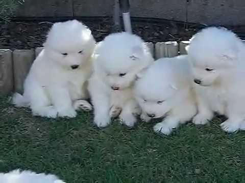 Cachorros de Samoyedo de 1 mes de edad
