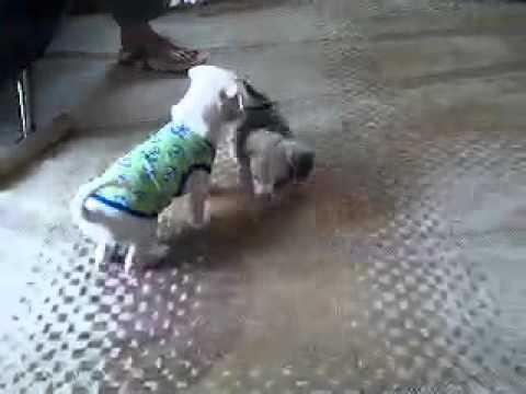 Sweet pug-weenie pups - YouTube