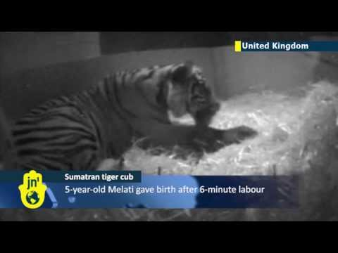 Hidden camera captures birth of Sumatran tiger cub: amazing video footage of London Zoo tiger birth