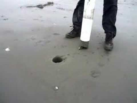 catching a razor clam