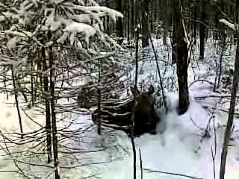 бобр ловля в петли